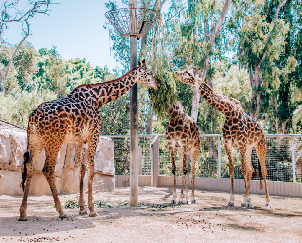 Visiting The San Diego Zoo What To See And Do